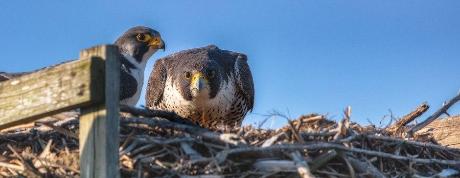 peregrine-nesting-on-osprey-platform