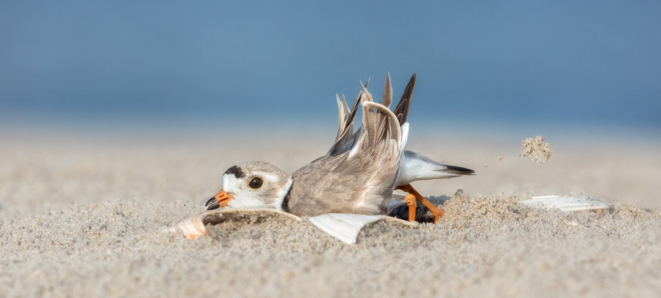 piping-plover-scraping-scrape