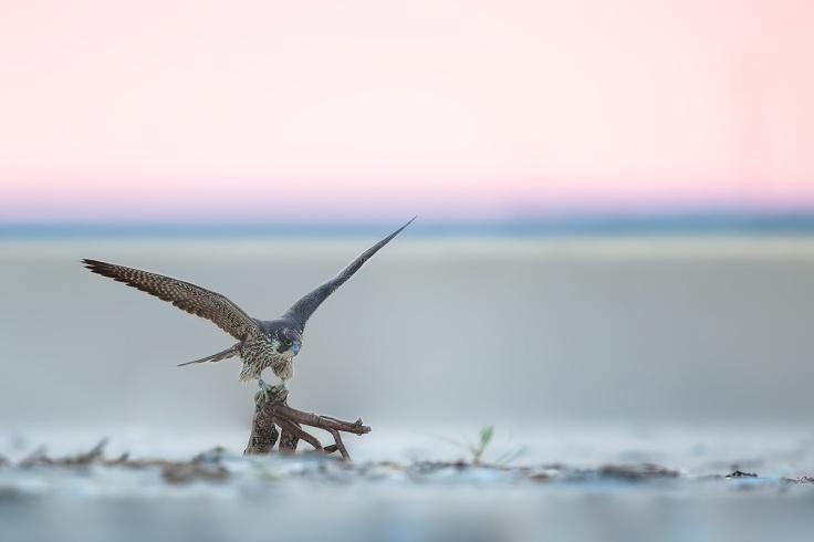 juvenile-peregrine-perched-lbi