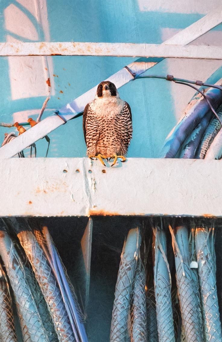 lbi-peregrine-falcon-jo-durt