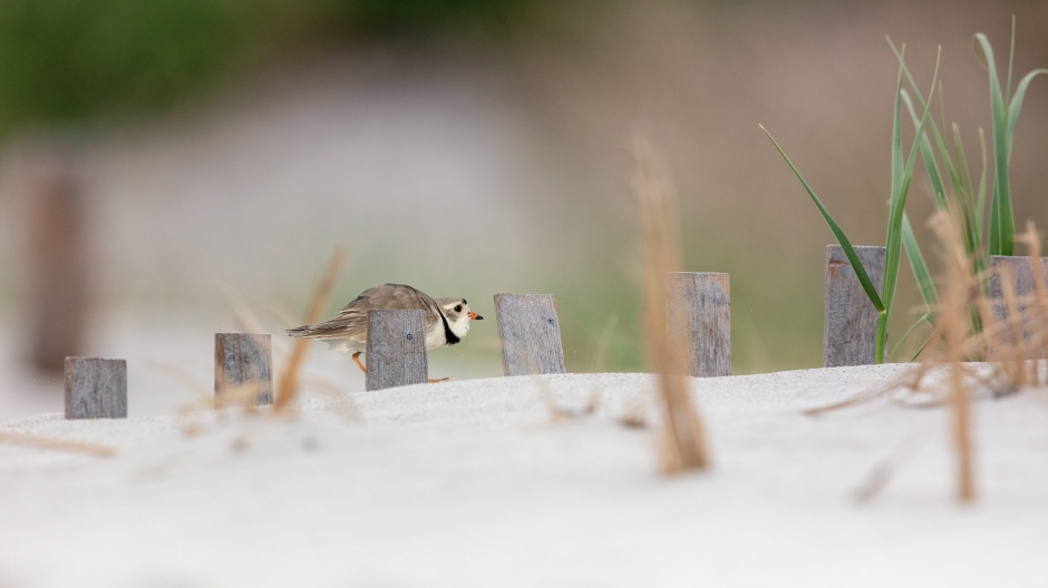 larry-burb-piping-plover