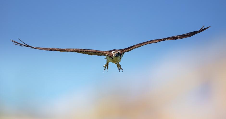 osprey-attack
