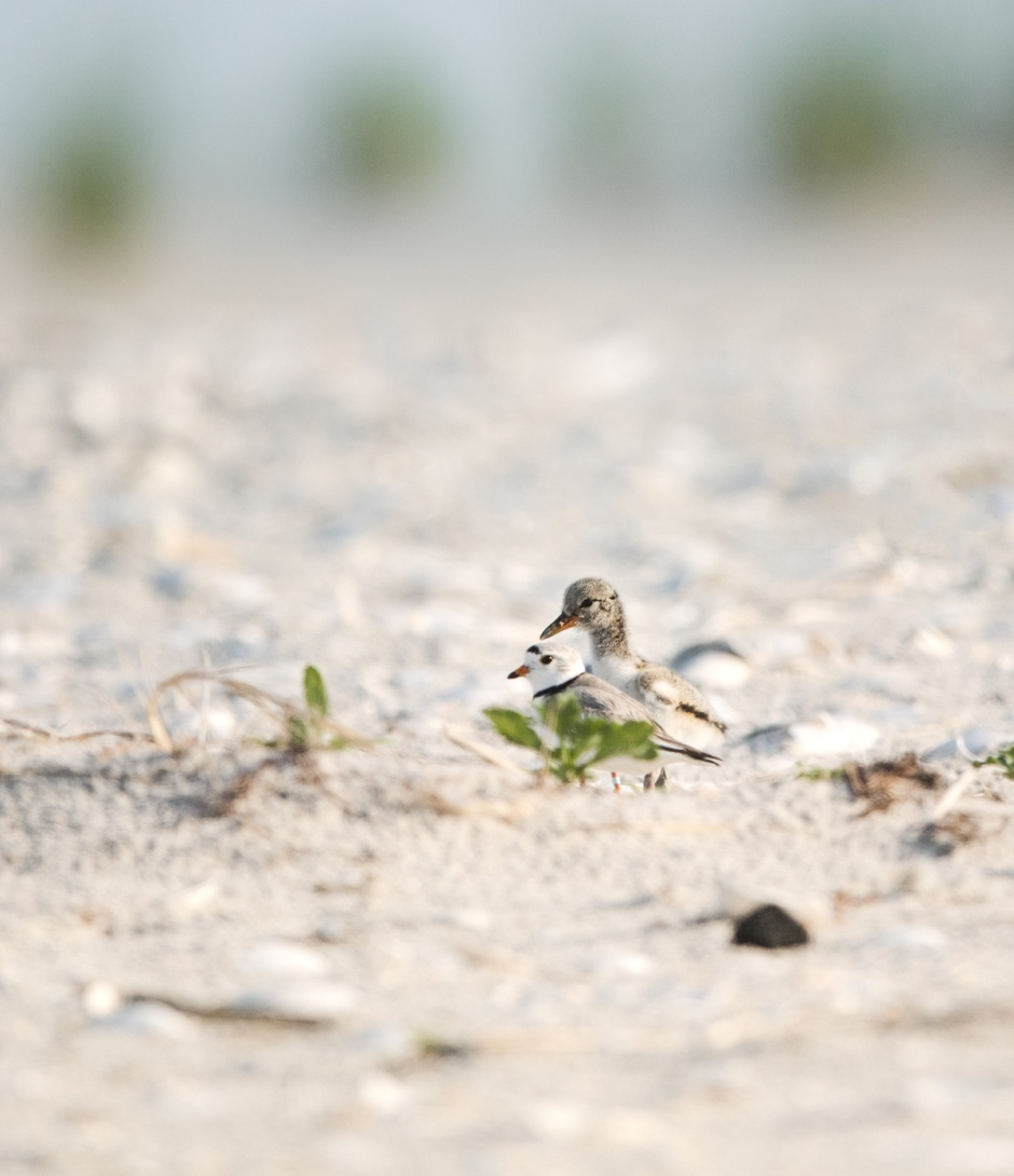 piping-plover-adult-with-amoy-chick