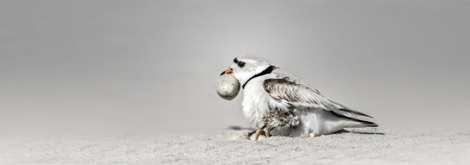 piping-plover-baby-stink-egg