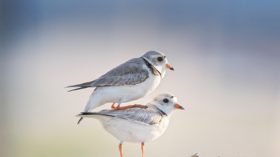 piping-plover-copulation