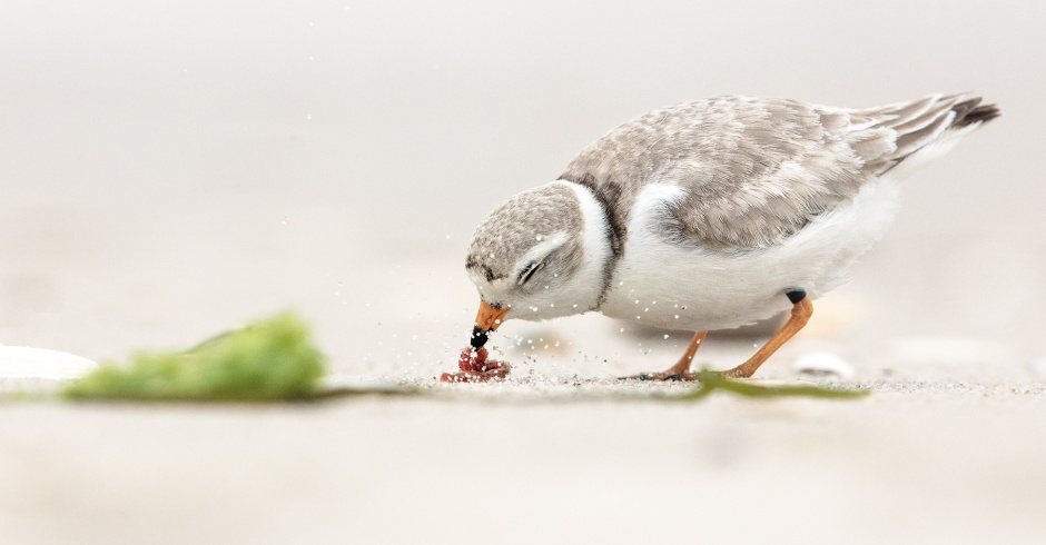 piping-plover-feeding