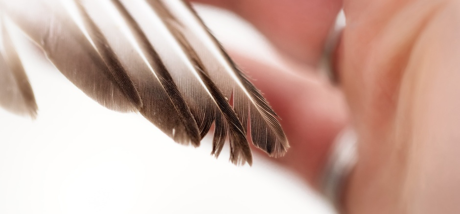 piping-plover-first-year-feather-damage