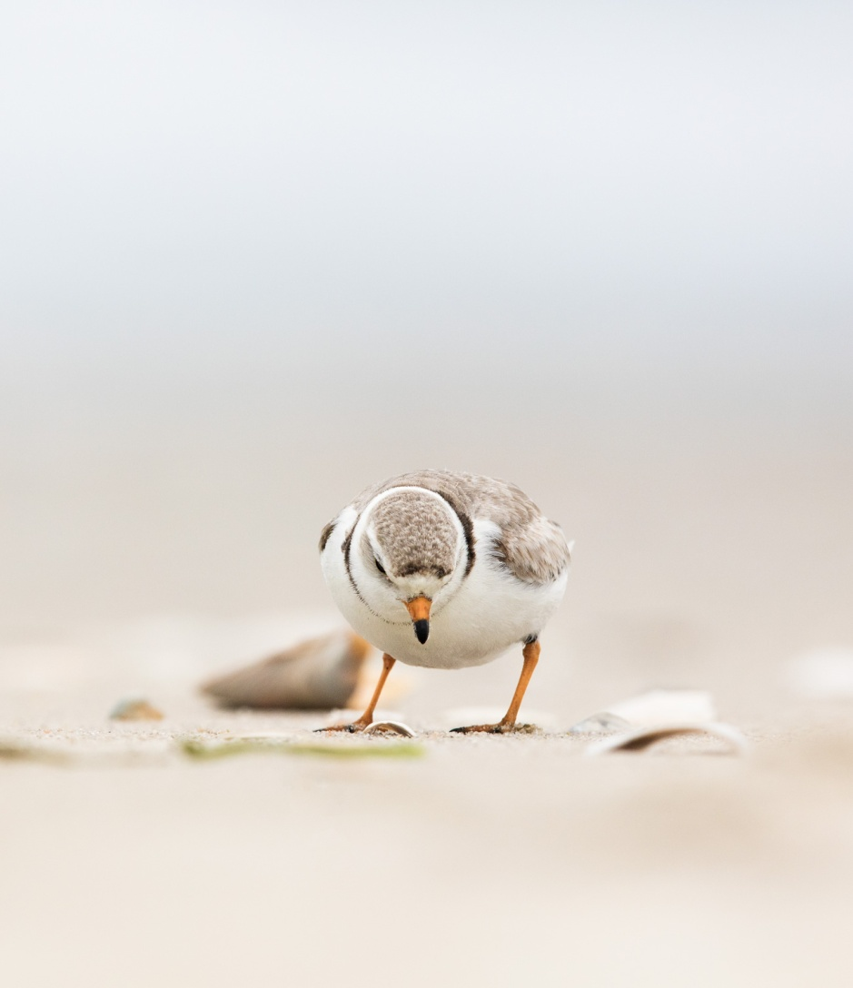 piping-plover-forage