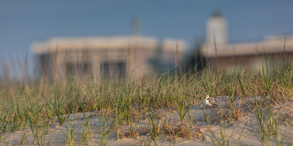 piping-plover-house-brood