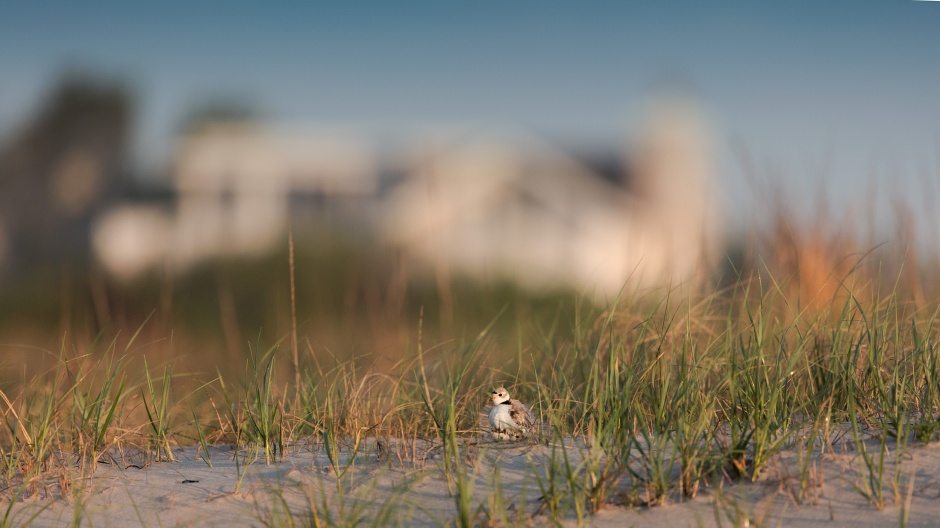 piping-plover-house