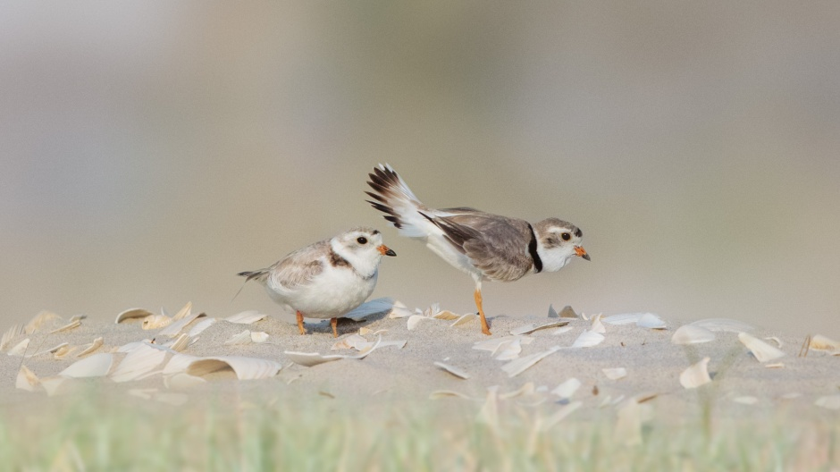 piping-plover-nest-presentation