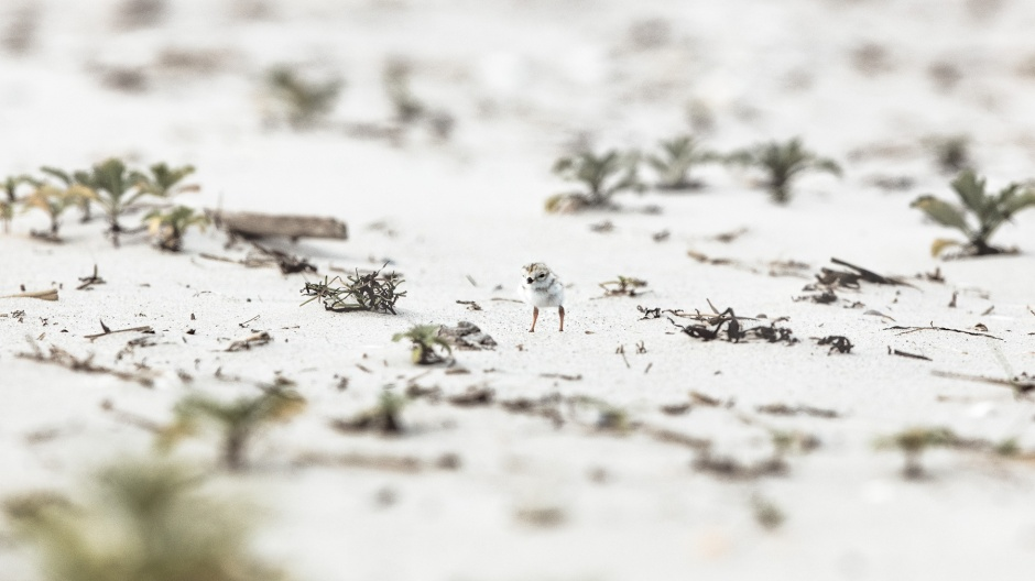 piping-plover-rogue