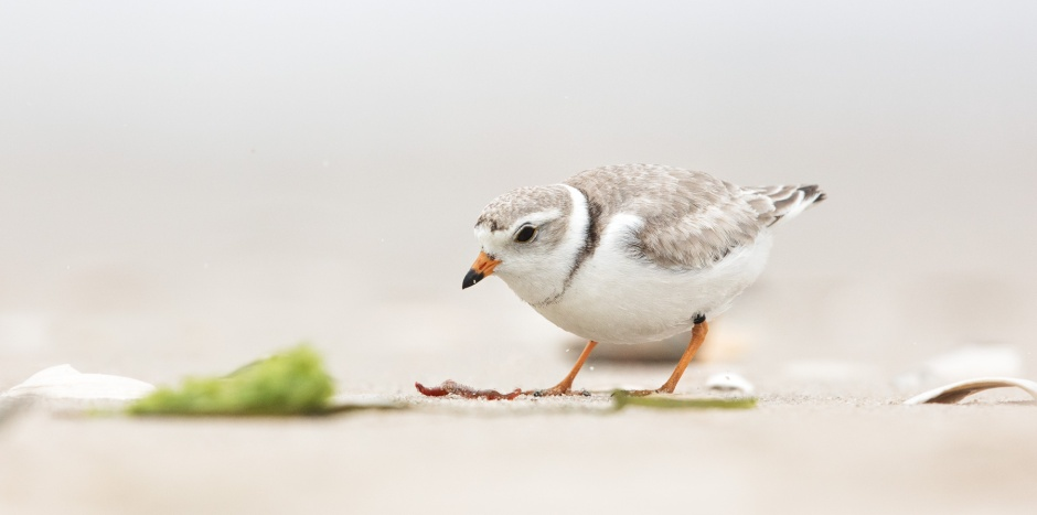 piping-plover-worm