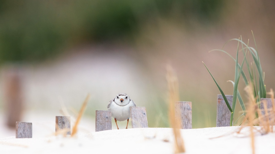 steph-curry-piping-plover