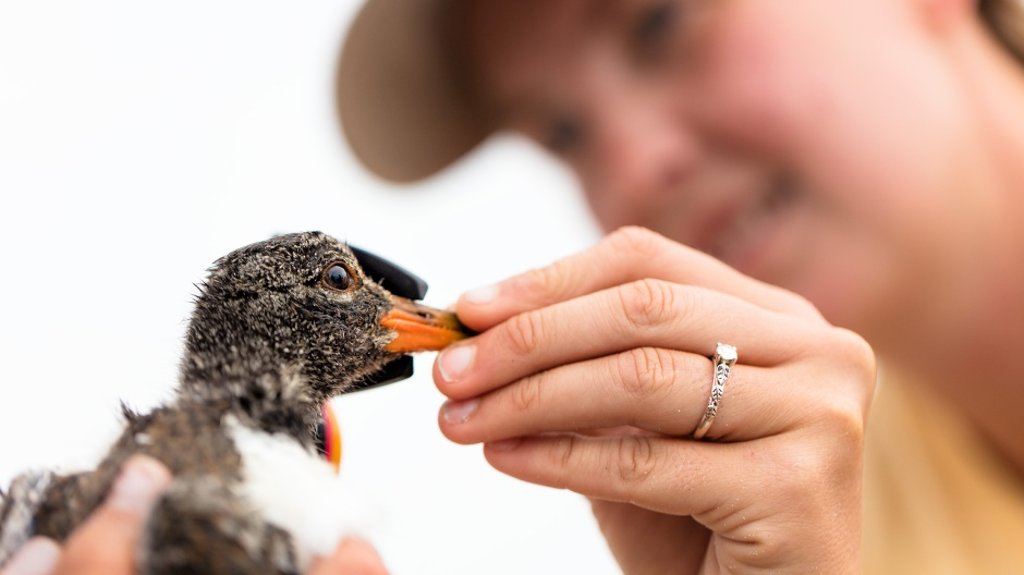 amoy-chick-beak-measuring