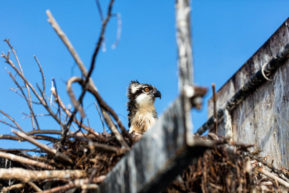 channel-marker-osprey
