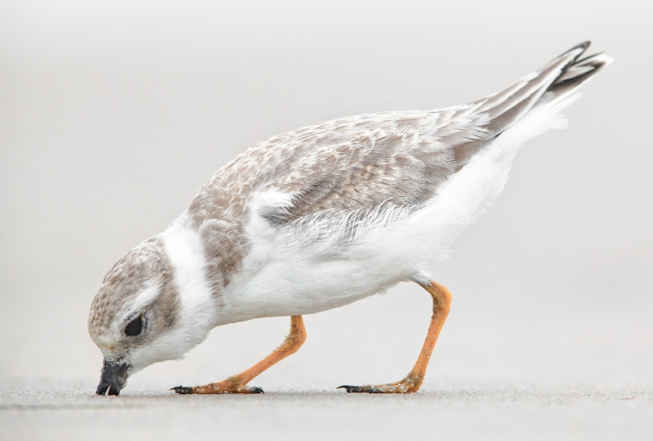 juvenile-piping-plover-feeding