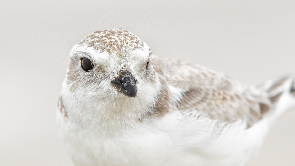 juvenile-piping-plover-headshot