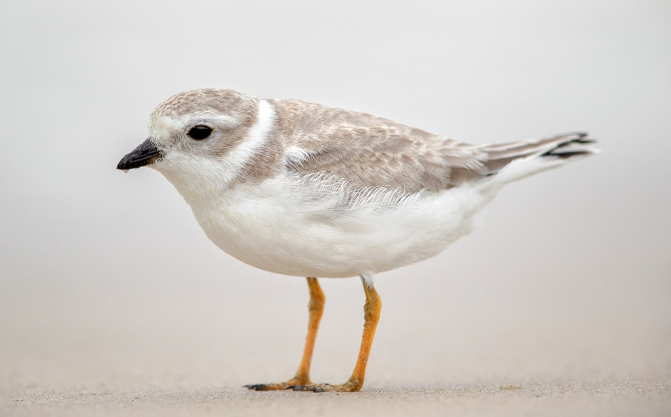 juvenile-piping-plover-scalloping
