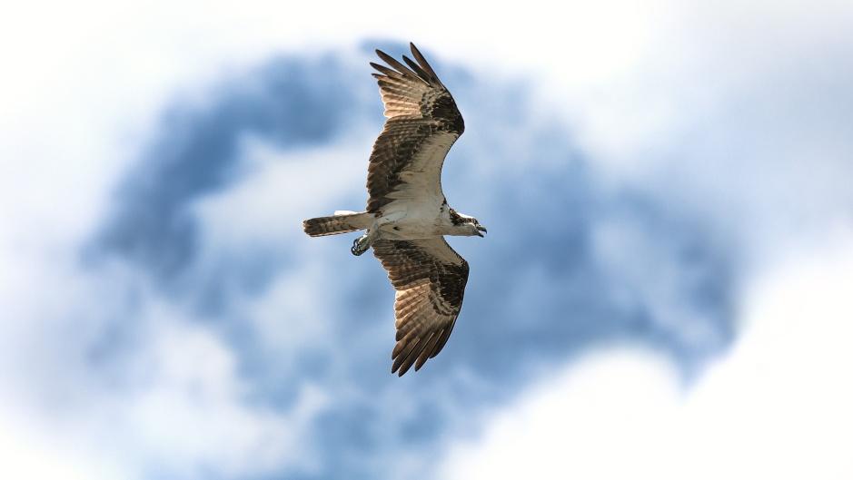 osprey-i9n-the-clouds