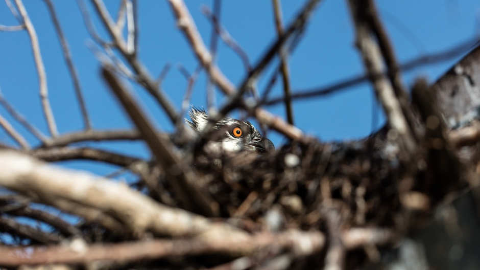 osprey-nest-peek