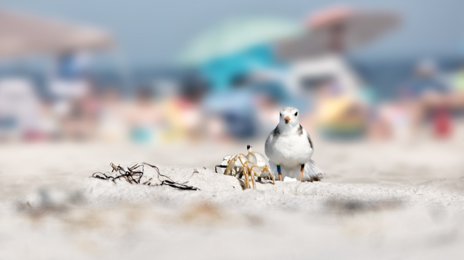 piping-plover-and-ghost-vcab