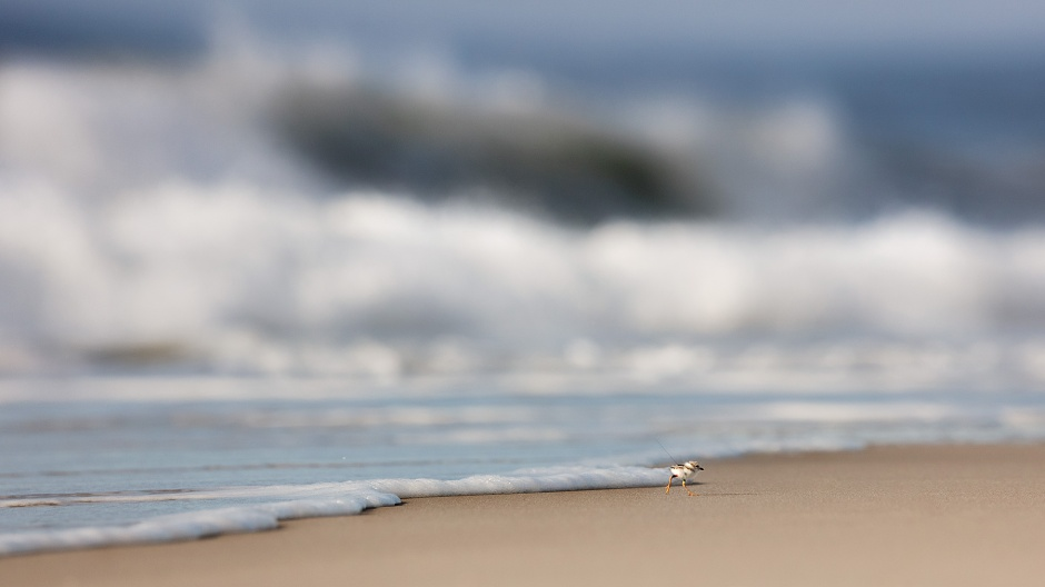 piping-plover-and-wave