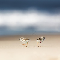 Where Do Plovers Go When They Die? Searching For Cyclops and The Spirit Of The Radio.