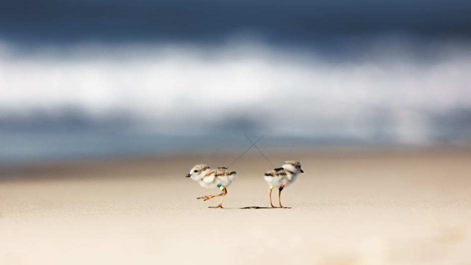 piping-plover-backback-fashion-show