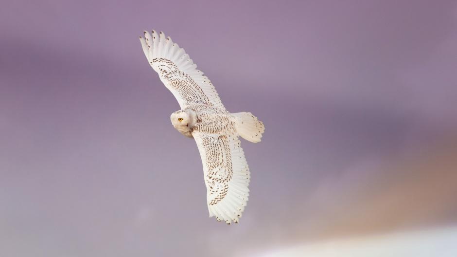 picassos-owl