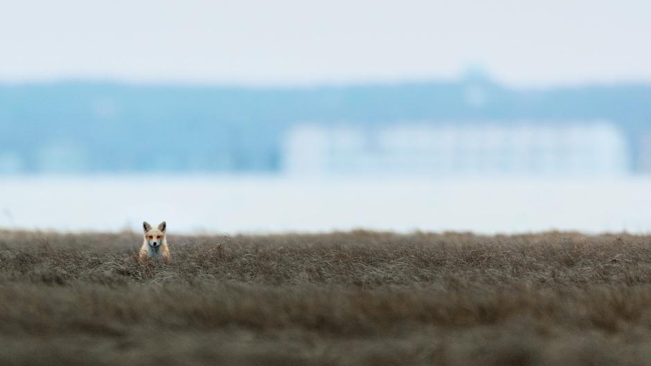 beach-haven-fox
