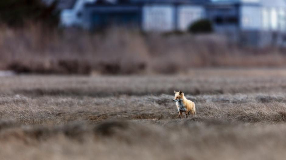 lbi-red-fox