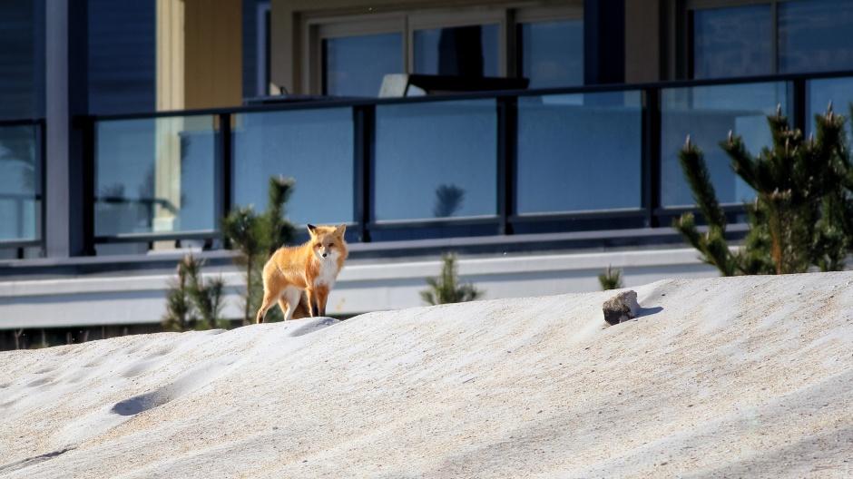 oceanfront-fox-2018