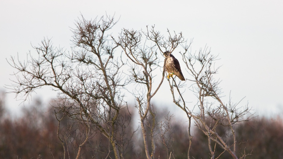 peregrine-in-a-tree